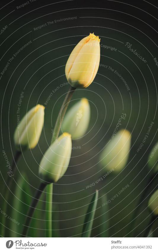 startklar in den Frühling Tulpen Tulpenknospen Tulpenblüte Frühlingserwachen Frühlingsblumen Vorfreude April Tulpenzeit Blütezeit gelbe Tulpen gelbe Blumen