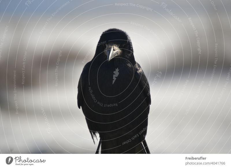 Raven posiert absichtlich für den Fotografen Tier Tiere Vogel Schnabel schön Vogelbeobachtung schwarz Amsel Krallen schließen abschließen Nahaufnahme farbenfroh