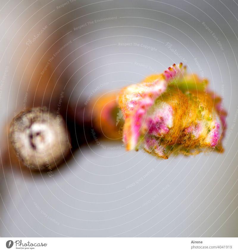 neuer Trieb Knospe Frühling Wachstum Beginn Rose natürlich Vorfreude Strauch rot klein positiv Blütenknospen braun gelb zart Optimismus zartes Grün aufbrechen