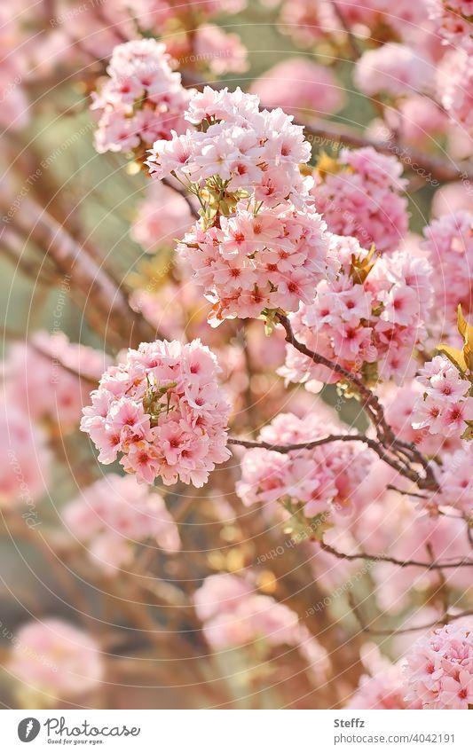 Zierkirsche in voller Blüte Säulenkirsche Blütenkirsche Prunus Japanische Blütenkirsche volle Blüte Blütenpracht Baumblüte Kirschblüten Frühlingsblüten