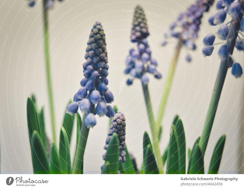 Frühlingsboten in Blau Traubenhyazinthen blau Blüte Blühend Pflanze Pflanzen Blume Blumen und Pflanzen Blumen Frühling Natur grün leve Hintergrundbild