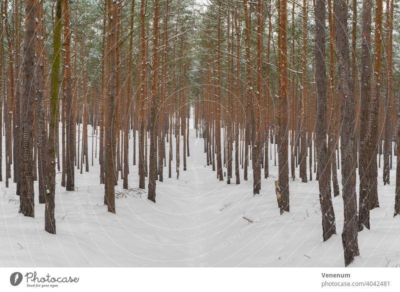 Schmaler Waldweg für Winterwanderungen in einem Kiefernwald, schneebedeckter Waldboden Schneise Wälder Baum Bäume Gras Ast Niederlassungen Natur Holzfällerei