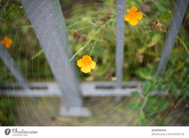 Gelbe Blüte, die durch einen Metallzaun wächst blume frühling sommer wiese garten pflanze blüte natur pink flora eingesperrt Sommer Frühling blühen feld Garten