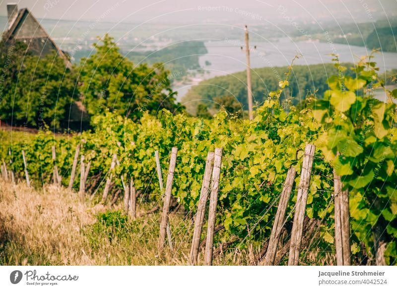 Weinberge mit Blick auf den Rhein, Bingen am Rhein, Deutschland weinanbau weinanbaugebiet Weingut mittelrhein Mittelrheintal Reben grün Pflanze Weintrauben
