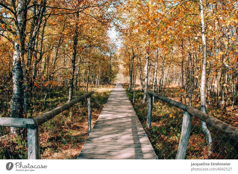 Rotes Moor im Herbst, Rhön, Deutschland Hochmoor Herbstfarben Holzsteg Bohlenpfad UNESCO-Biosphärenreservat Naturschutzgebiet Karpatenbirken Birke Birkenwald