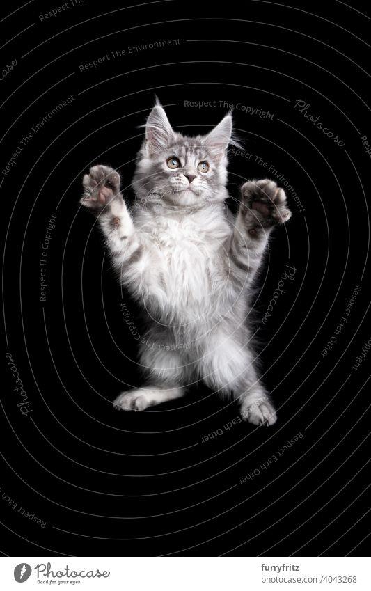 spielendes Maine Coon Kätzchen, das sich auf einem schwarzen Hintergrund aufbäumt Katze Katzenbaby schwarzer Hintergrund Textfreiraum ausschneiden vereinzelt