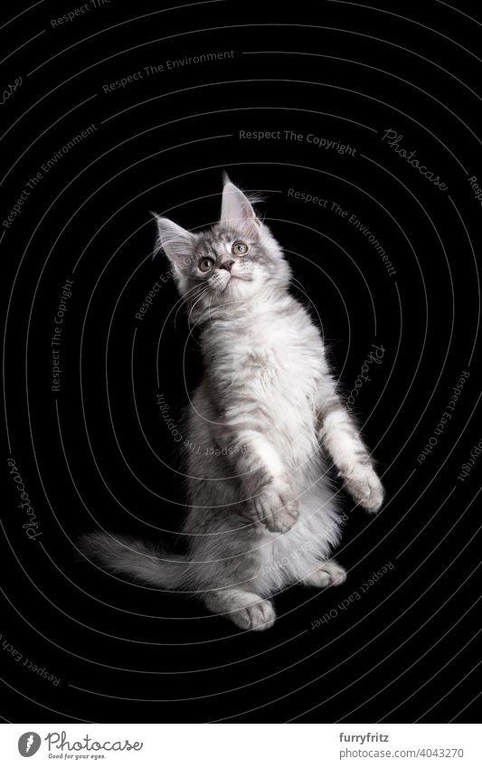 silberne maine coon Kätzchen Aufbäumen stehend auf den Hinterbeinen schauen auf schwarzem Hintergrund Katze Katzenbaby schwarzer Hintergrund Textfreiraum