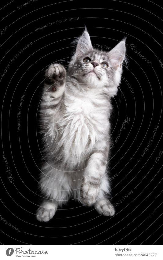 neugierig Silber maine coon Kätzchen spielen Aufbäumen auf schwarzem Hintergrund Katze Katzenbaby schwarzer Hintergrund Textfreiraum ausschneiden vereinzelt