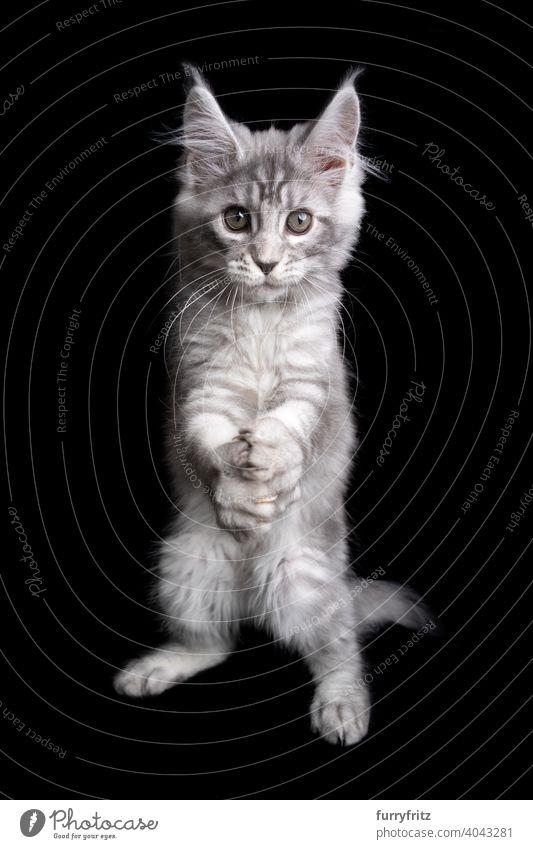 lustige maine coon Kätzchen spielen Klatschen oder Falten der Hände wie ein Gebet Katze Katzenbaby schwarzer Hintergrund Textfreiraum ausschneiden vereinzelt