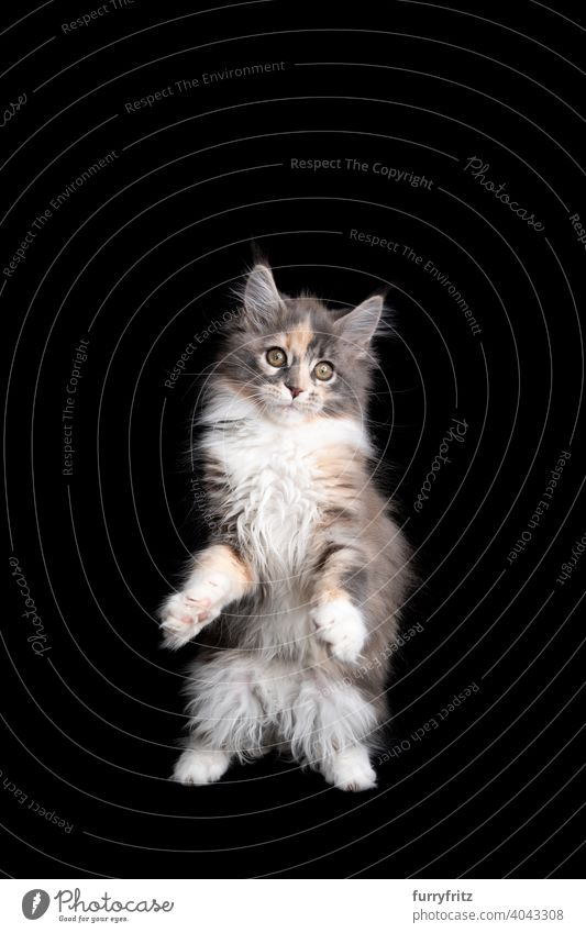 neugierig calico maine coon Kätzchen stehen auf Hinterbeinen auf schwarzem Hintergrund Katze Katzenbaby schwarzer Hintergrund Textfreiraum ausschneiden