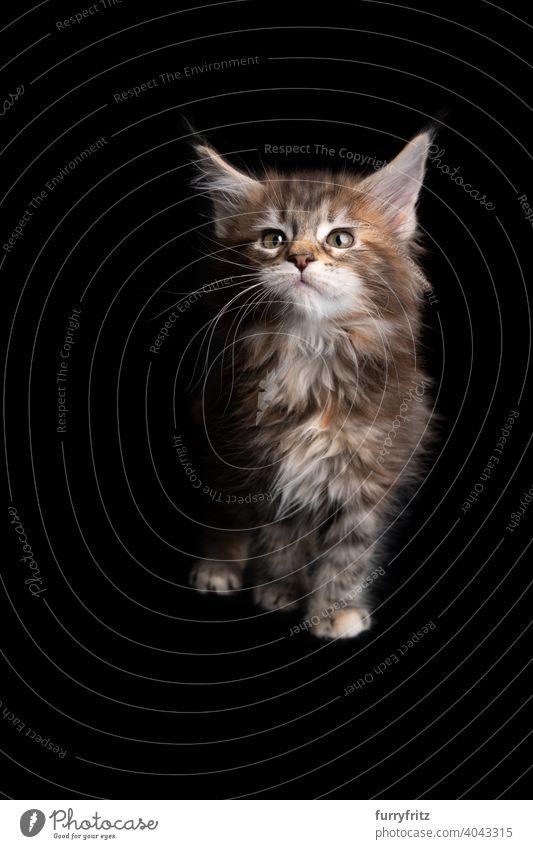 niedlich calico maine coon Kätzchen Porträt auf schwarzem Hintergrund Katze Katzenbaby schwarzer Hintergrund Textfreiraum ausschneiden vereinzelt Ein Tier