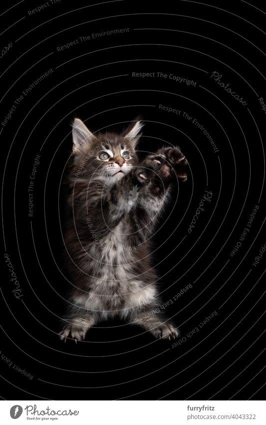 niedlichen maine coon Kätzchen spielen stehend auf den Hinterbeinen heben beide Pfoten auf schwarzem Hintergrund Katze Katzenbaby schwarzer Hintergrund