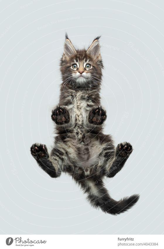 lustige Unteransicht eines Maine Coon Kätzchens, das auf einem Glastisch steht und auf die Kamera herabschaut Katze Katzenbaby direkt darunter ausschneiden