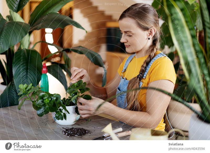 Eine junge Frau pflanzt Blumen zu Hause um. Frühling Pflege für Topfblumen. Frühling, Pflege, Pflanzen zu Hause, Gartenarbeit zu Hause heimwärts Transplantation