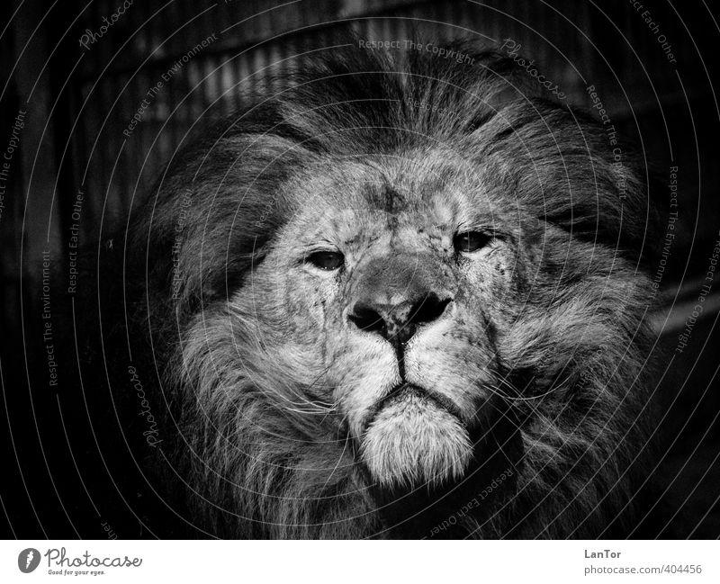 Der König Tier Wildtier Tiergesicht Zoo Löwe 1 beobachten Blick ästhetisch groß Kraft Mut ruhig majestätisch Macht Schwarzweißfoto Außenaufnahme Detailaufnahme
