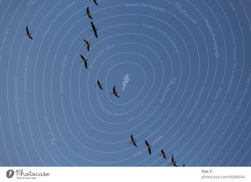 Gänse über der Oder gänse Zugvögel Oderbruch Natur fliegen Vogel Zugvogel Himmel Außenaufnahme Freiheit Wildtier Schwarm Vogelschwarm Tiergruppe Menschenleer