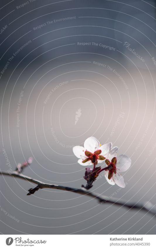Weiße Pflaumenblüten Blumen geblümt Kirsche rosa weiß Ast Frühling Baum Saison saisonbedingt blau Blütezeit Überstrahlung Textfreiraum natürlich Natur Wälder