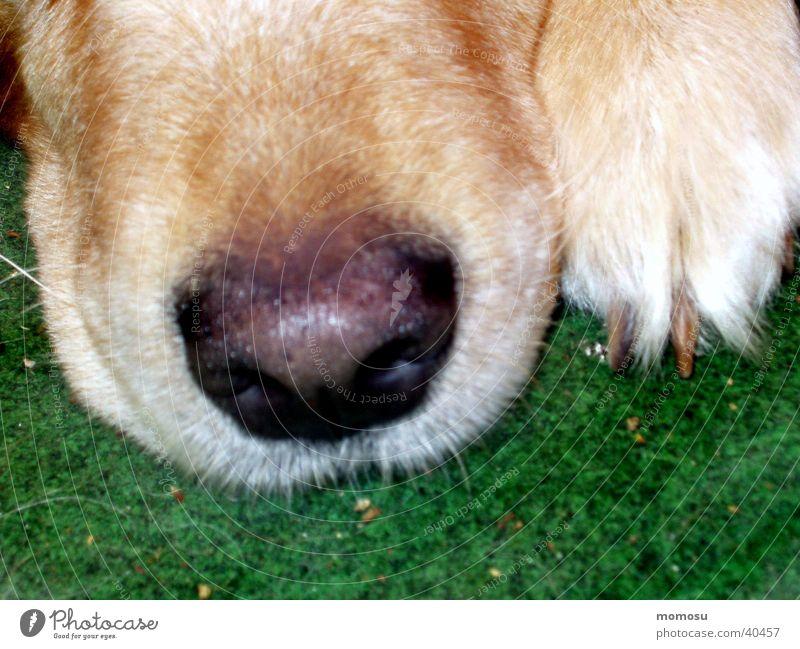 incognito Hund Nase Schnauze Detailaufnahme Golden Retriever