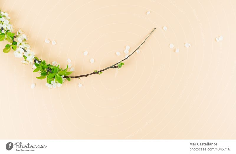 Weiße Pflaumenblüten auf cremefarbenem Hintergrund. Platz zum Kopieren. Frühling Konzept. Blumen Pflaumenbaum Ast geblümt cremefarbener Hintergrund Textfreiraum
