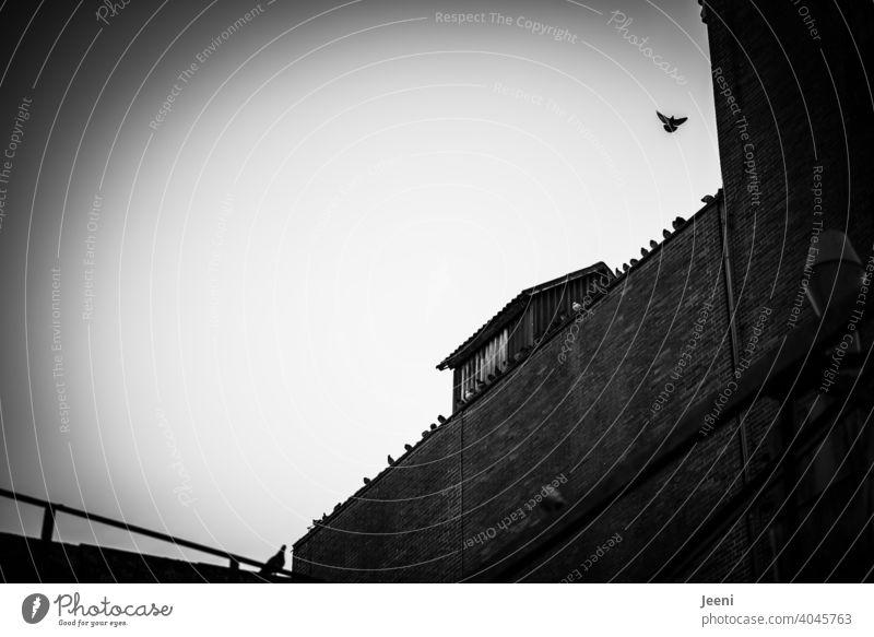 Tauben sitzen aufgereiht auf dem Dach eines alten Industriegebäudes, eine Taube fliegt fort Flug Vogel Tier fliegen Himmel Außenaufnahme Flügel Schwarm