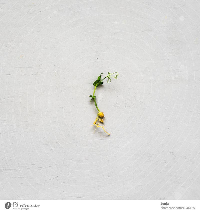 Eine einzelne Erbsen Sprosse auf einem grauen Hintergrund Kresse Sprossen Kräuter & Gewürze Lebensmittel grün Pflanze Vegetarische Ernährung frisch Bioprodukte
