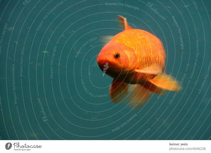Ein roter Goldfisch auf grünen Hintergrund Fisch Wasser Auge Tier Schmutzwasser Aquarium Schwimmen & Baden orange Farbfoto Teich Koi See Unterwasseraufnahme