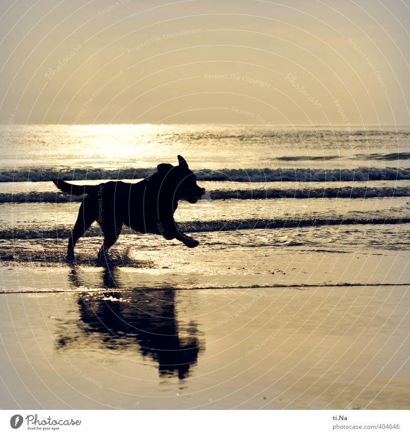 SPO | Wasserratte Hund Wasser Sommer Meer Freude Strand schwarz Tierjunges Spielen Küste grau Schwimmen & Baden springen Wellen gold laufen