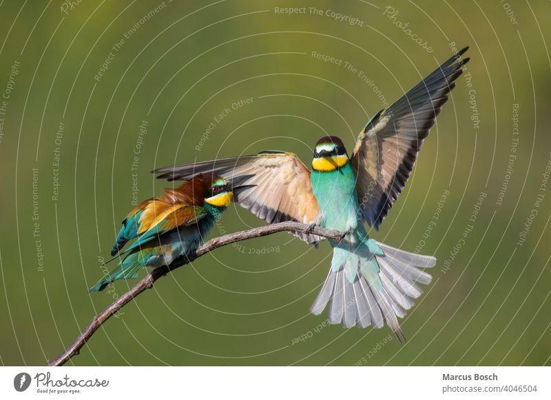 Bienenfresser, Merops apiaster, Europäischer Bienenfresser 2 merops apiaster Vögel Zugvögel Zugvogel Tier Tiere Vogel Ast Korkenzieher farbig farbenfroh Farbig