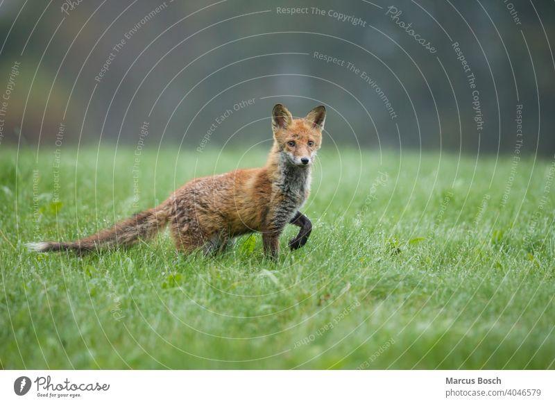 Rotfuchs, Vulpes vulpes, Rotfuchs Fuchs morgen Morgentau Schamlippen grün Grün halbwuechsig Halbblüter Dschungel Wiese nass jung