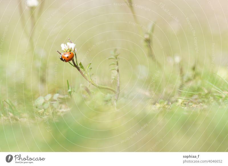 Frühling - Makroaufnahme von Marienkäfer sitzt auf Blume Blütenknospen Wiese Garten Makro-Welt Feld Gras Sonnenlicht Flora Nahaufnahme Käfer Natur Wanze grün