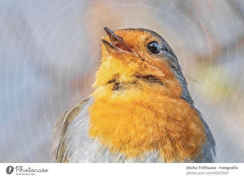 Singendes Rotkehlchen Porträt Erithacus rubecula Tiergesicht Kopf Schnabel Auge Feder gefiedert Flügel Vogel Wildtier singen Gezwitscher Kommunizieren Gesang