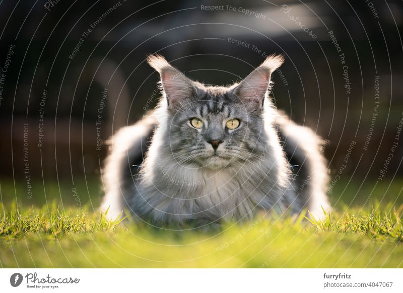 Silber gestromt maine coon Katze ruht auf Rasen im Sonnenlicht Rassekatze Haustiere maine coon katze im Freien Vorder- oder Hinterhof Garten Langhaarige Katze