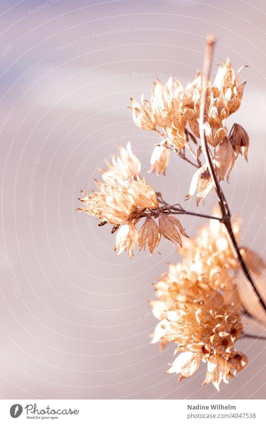 Zarte, verwelkte Blüten welken welkend zart Natur Blume Pflanze alt Nahaufnahme verblüht Vergänglichkeit Herbst Blütenblatt Farbfoto vertrocknet trocken