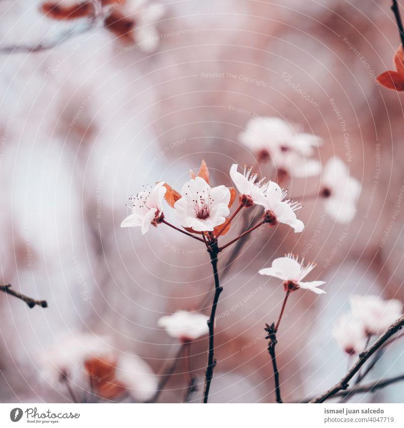 schöne Kirschblüte im Frühling, Sakura Blumen Kirschblüten Sakura-Blüte Sakurabaum rosa Blütenblätter geblümt Flora Natur natürlich dekorativ