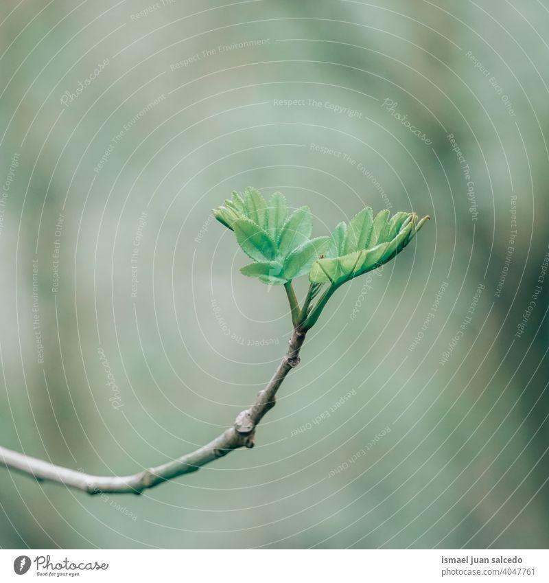 grüne Pflanzenblätter Knospen im Frühjahr Blätter Blatt sprießen Blüte Ast Natur natürlich Laubwerk texturiert Frische im Freien Hintergrund Schönheit