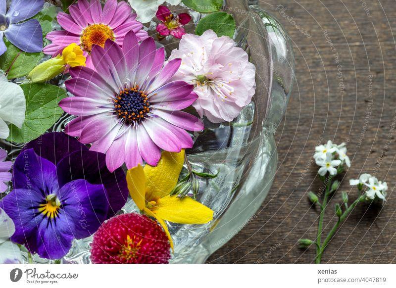 Frühlingsblumen schwimmen dekorativ in einer Glasschale und duften Kapmargerite Blüten Margerite Dekoration & Verzierung Gänseblümchen Mischung rosa weiß lila