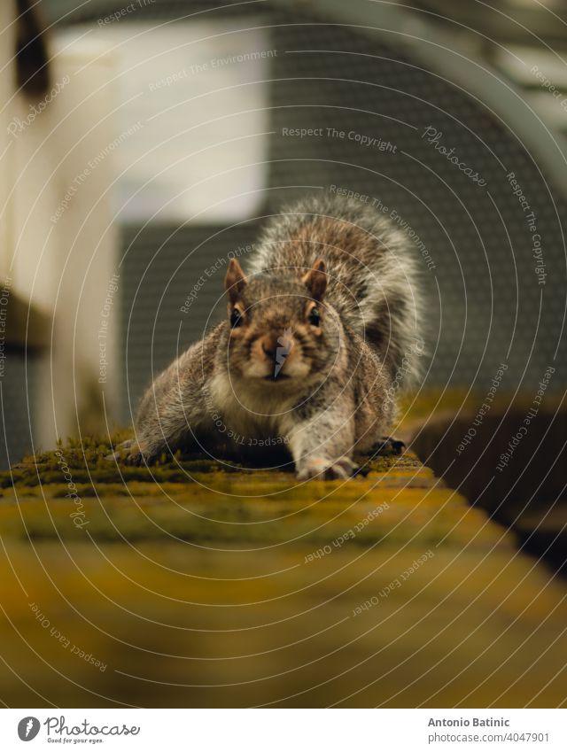 Direktansicht eines lustigen kleinen Eichhörnchens, das auf einer braun bewachsenen, moosbewachsenen Wand auf Sie zugeht. Es streckt eine seiner Pfoten langsam aus, während es die Kamera untersucht