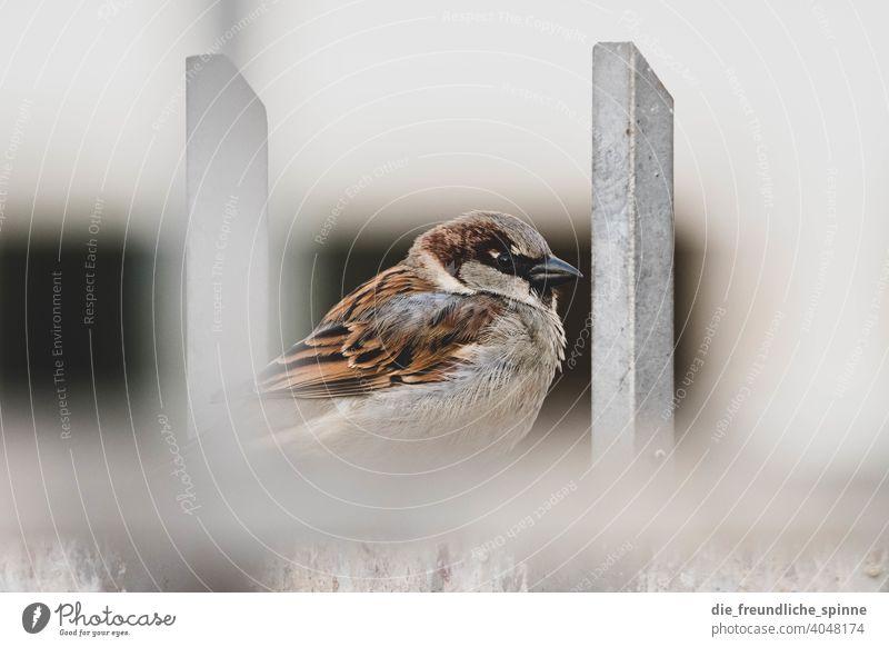 Sperling auf Zaun Vogel fliegen Frühling Ast Tier Außenaufnahme Natur Feder Garten klein Nahaufnahme Winter Schnabel wild schön Tierwelt Singvogel Ornithologie