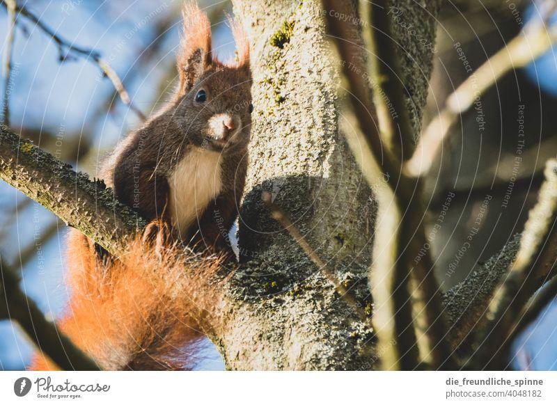 Eichhörnchen auf Futtersuche Nagetiere Tier Wildtier niedlich Natur Fell Außenaufnahme braun Farbfoto Tag Tierporträt Pfote Schwanz Tiergesicht klein ohr wald