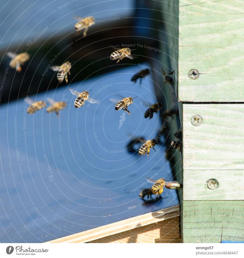 Bienen kommen vom Nektar sammeln zu ihrem Bienenstock zurückgeflogenen Honigbienen Beute Bienenbeute Frühling Sommer Bienenfleiß bienenfleissig emsig Rückflug