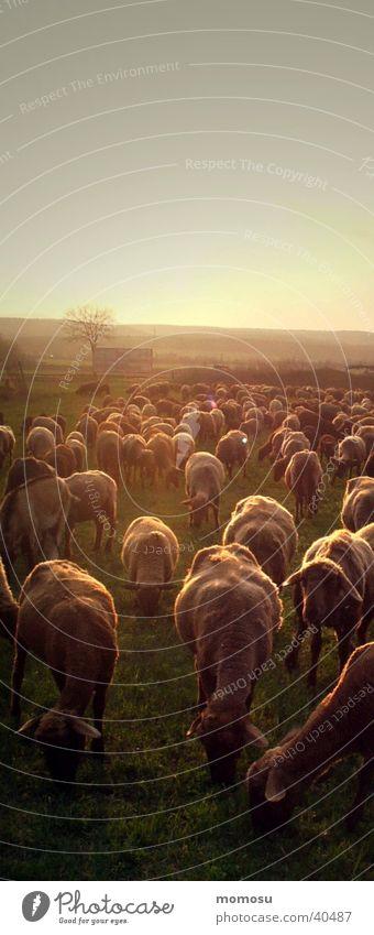 901 schafe mehrere Verkehr Landwirtschaft Schaf Abenddämmerung Schafherde