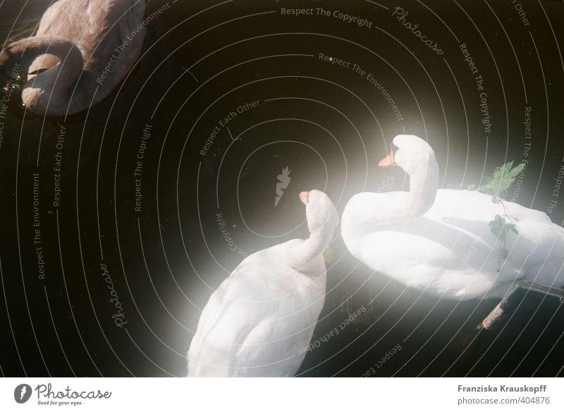 Schwäne Umwelt Natur Landschaft Tier Wasser Sommer Seeufer Schwan 3 Tierpaar Tierjunges Tierfamilie Stimmung Zufriedenheit Sympathie Zusammensein Tierliebe