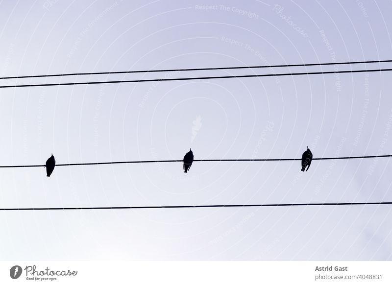 Drei Stare sitzen auf einer Stromleitung vögel stromleitung noten luft himmel kabel stromkabel neugierig reihe schwarz putzen warten fliegen treffen treffpunkt