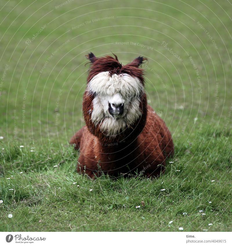 tief entspannt im Hier und Jetzt tierportrait neugierig wiese holzzaun skurril tiergesicht sitzen liegen alpaca schnauze