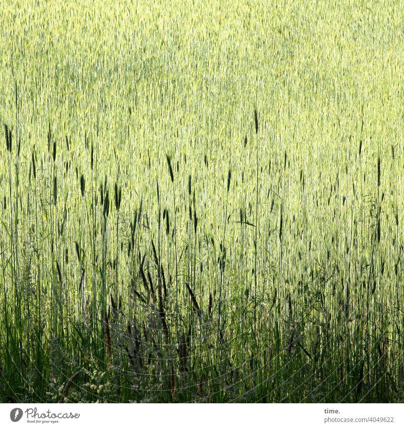 Doppelkorn, mindestens Getreide getreidefeld grün sonnig schattig landwirtschaft Gemeinschaft wachstum nahrung umwelt