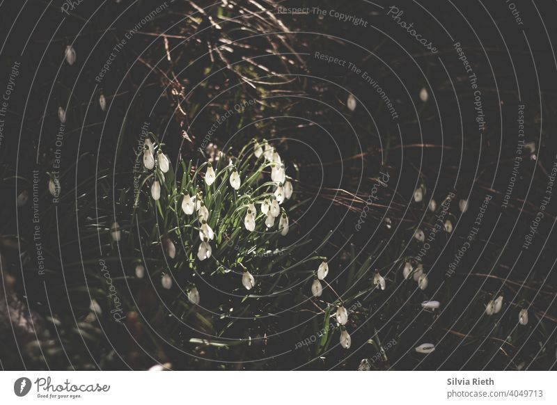 Zu sehen ist eine Gruppe von Schneeglöckchen im Sonnenlicht umgeben von vereinzelten Schneeglöckchen, die im Schatten sind. Frühling Natur Blume Farbfoto Garten