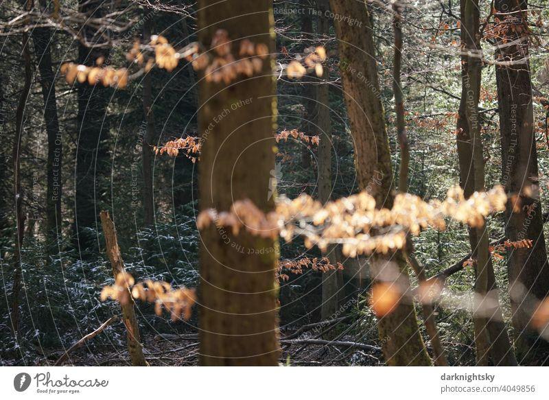 Wald Landschaft aus Buchen und Fichten oder Tannen mit Eis und Schnee und bei Sonnenschein WInter Weihnachten Hochwald Mischald Natur Außenaufnahme Winter Baum