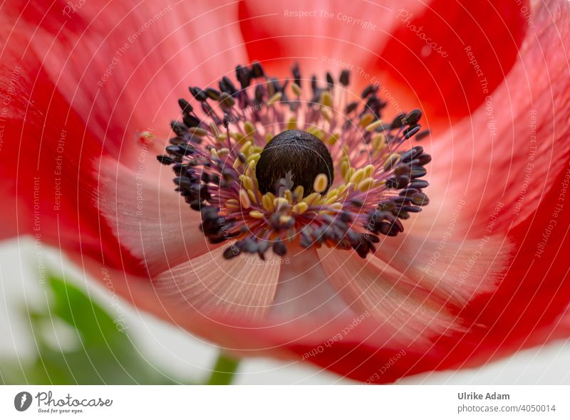 Rote Blüte der Kronen - Anemone Anemone coronaria Kronen-Anemone Windröschen Schwache Tiefenschärfe zart filigran Valentinstag elegant Wellness Design