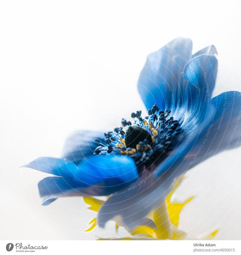 Zarte blaue Blüte der Kronen-Anemone (Anemone coronaria) Makroaufnahme Nahaufnahme Detailaufnahme Textfreiraum oben Freisteller Hintergrund neutral Unschärfe