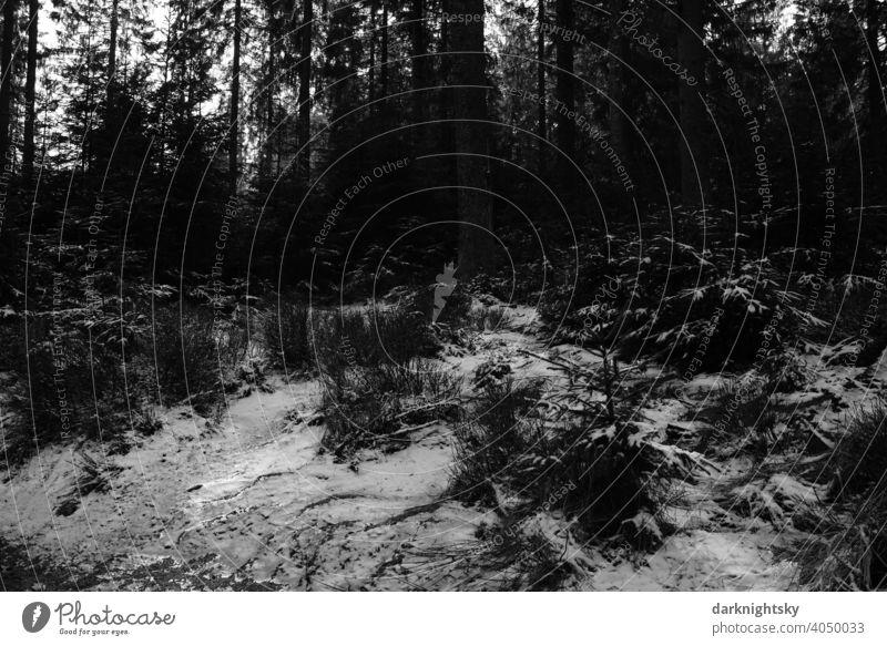 Wald Landschaft aus Fichten oder Tannen mit Eis und Schnee WInter Weihnachten Hochwald Mischald Natur Außenaufnahme Winter Baum Umwelt Menschenleer weiß kalt